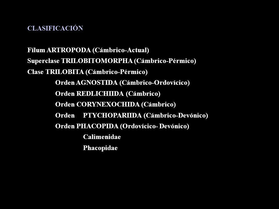 CLASIFICACIÓN Fílum ARTROPODA (Cámbrico-Actual) Superclase TRILOBITOMORPHA (Cámbrico-Pérmico) Clase TRILOBITA (Cámbrico-Pérmico) Orden AGNOSTIDA (Cámb