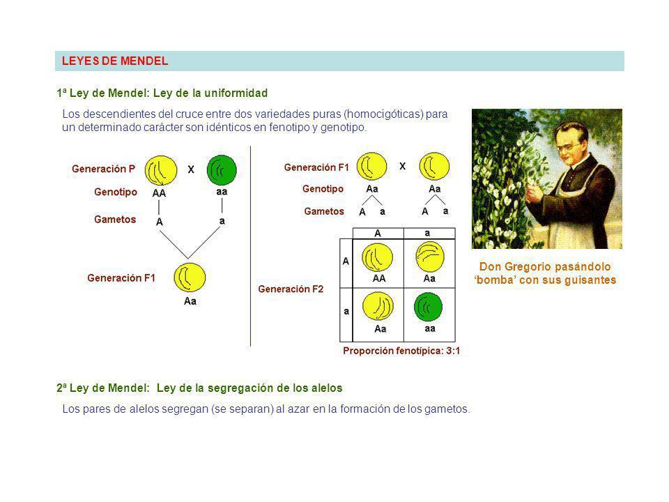 LEYES DE MENDEL 1ª Ley de Mendel: Ley de la uniformidad Los descendientes del cruce entre dos variedades puras (homocigóticas) para un determinado carácter son idénticos en fenotipo y genotipo.