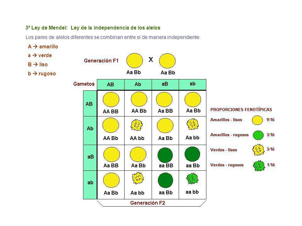3ª Ley de Mendel: Ley de la independencia de los alelos Los pares de alelos diferentes se combinan entre sí de manera independiente A amarillo a verde B liso b rugoso