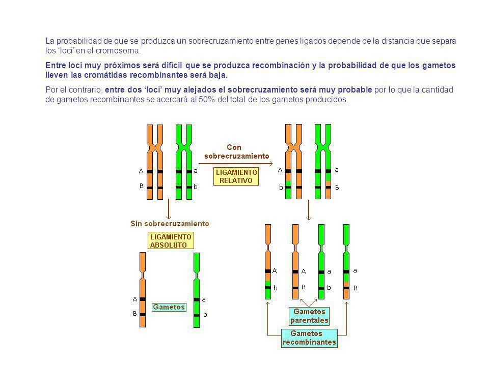 La probabilidad de que se produzca un sobrecruzamiento entre genes ligados depende de la distancia que separa los loci en el cromosoma.