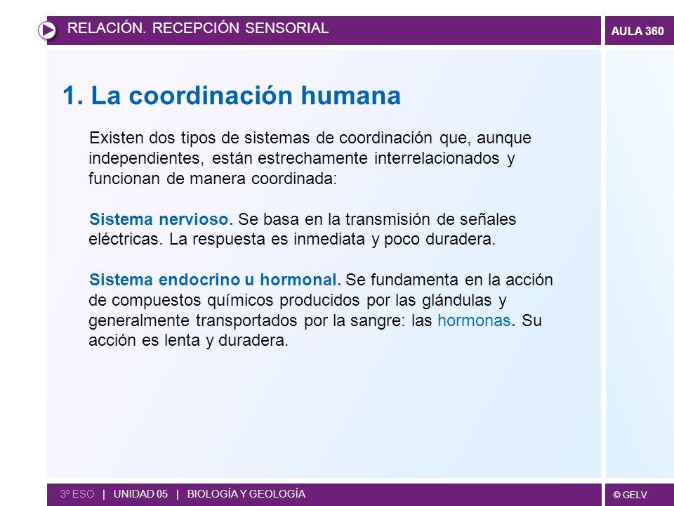 © GELV AULA 360 1. La coordinación humana Existen dos tipos de sistemas de coordinación que, aunque independientes, están estrechamente interrelaciona