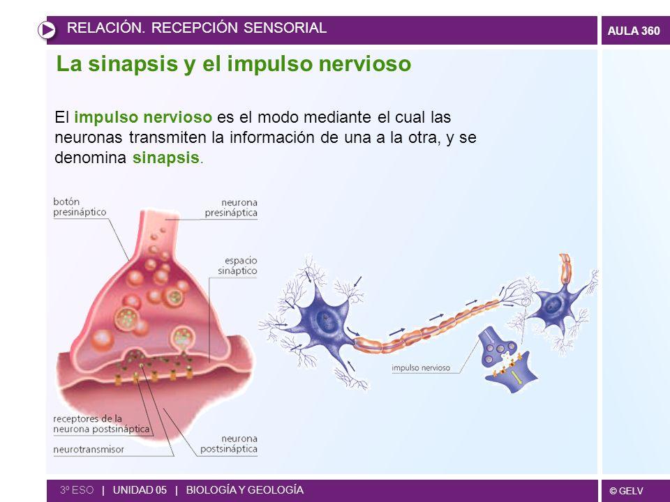 © GELV AULA 360 La sinapsis y el impulso nervioso El impulso nervioso es el modo mediante el cual las neuronas transmiten la información de una a la o