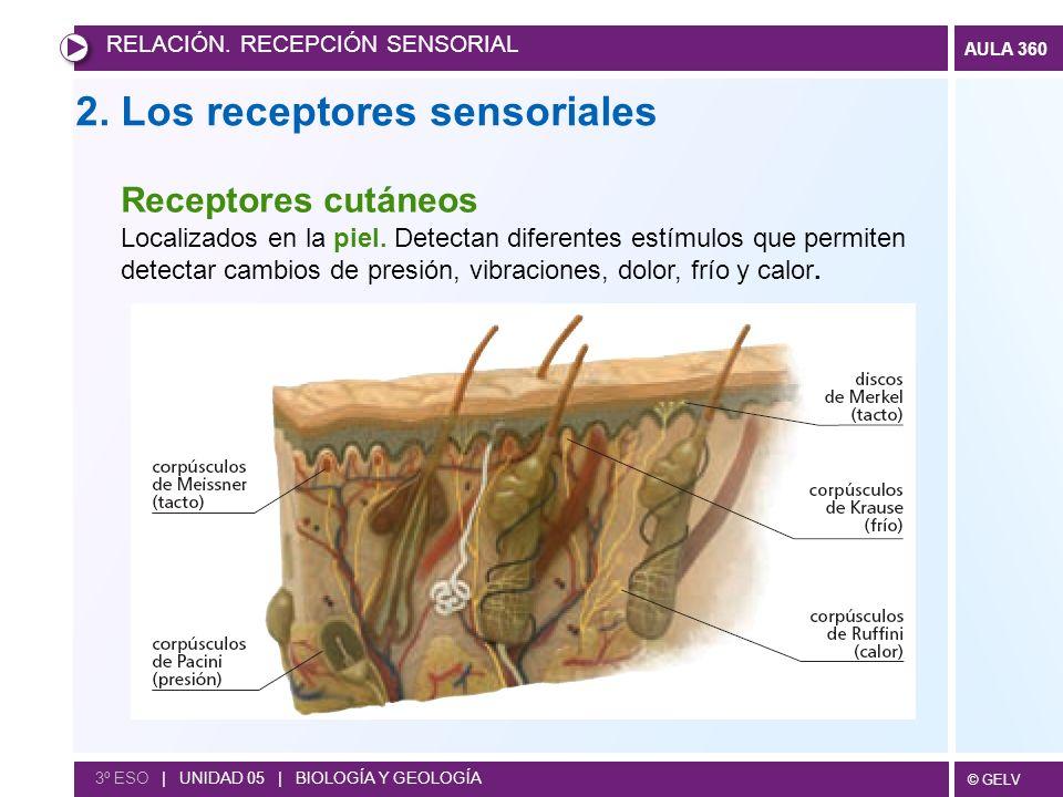 © GELV AULA 360 2. Los receptores sensoriales RELACIÓN. RECEPCIÓN SENSORIAL 3º ESO | UNIDAD 05 | BIOLOGÍA Y GEOLOGÍA Receptores cutáneos Localizados e