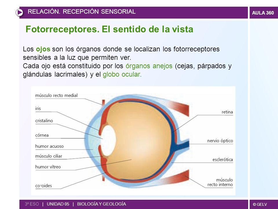 © GELV AULA 360 Fotorreceptores. El sentido de la vista RELACIÓN. RECEPCIÓN SENSORIAL 3º ESO | UNIDAD 05 | BIOLOGÍA Y GEOLOGÍA Los ojos son los órgano