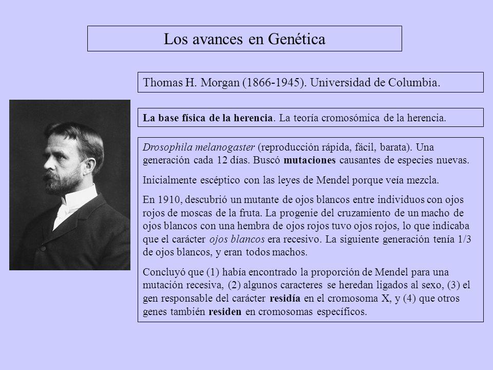 Los avances en Genética Thomas H. Morgan (1866-1945). Universidad de Columbia. Drosophila melanogaster (reproducción rápida, fácil, barata). Una gener