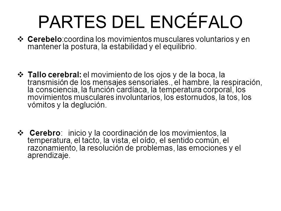 PARTES DEL ENCÉFALO Cerebelo:coordina los movimientos musculares voluntarios y en mantener la postura, la estabilidad y el equilibrio.