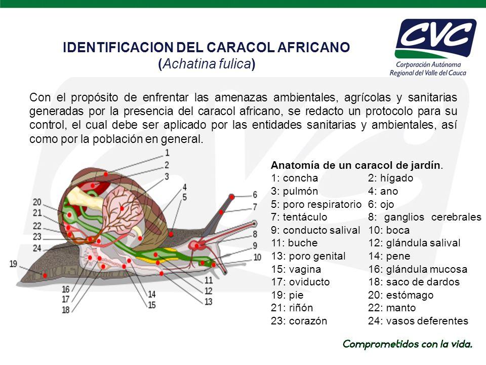 Con el propósito de enfrentar las amenazas ambientales, agrícolas y sanitarias generadas por la presencia del caracol africano, se redacto un protocolo para su control, el cual debe ser aplicado por las entidades sanitarias y ambientales, así como por la población en general.