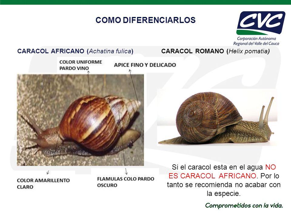 CARACOL AFRICANO (Achatina fulica) COMO DIFERENCIARLOS CARACOL ROMANO (Helix pomatia) Si el caracol esta en el agua NO ES CARACOL AFRICANO.