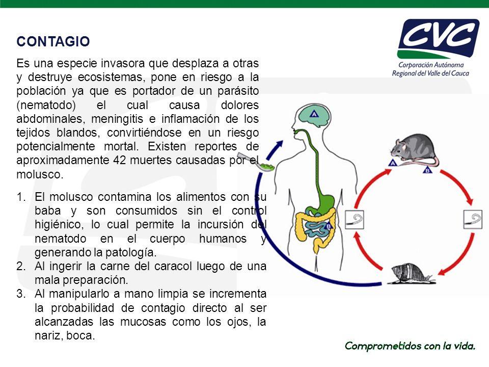 CONTAGIO 1.El molusco contamina los alimentos con su baba y son consumidos sin el control higiénico, lo cual permite la incursión del nematodo en el cuerpo humanos y generando la patología.