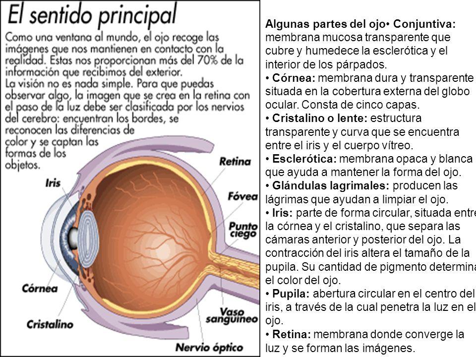 Algunas partes del ojo Conjuntiva: membrana mucosa transparente que cubre y humedece la esclerótica y el interior de los párpados. Córnea: membrana du