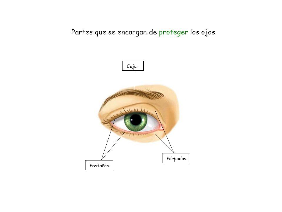 Ceja Pestañas Párpados Partes que se encargan de proteger los ojos