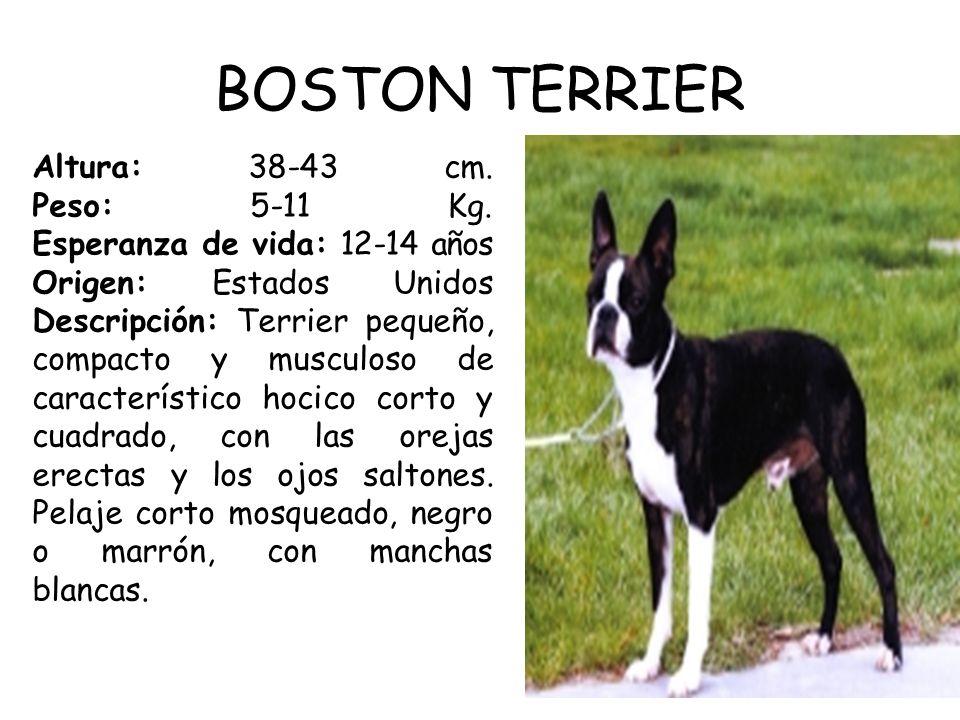 BOSTON TERRIER Altura: 38-43 cm.Peso: 5-11 Kg.