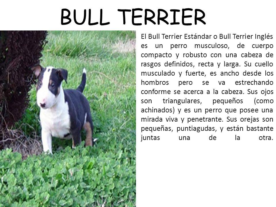 BULL TERRIER El Bull Terrier Estándar o Bull Terrier Inglés es un perro musculoso, de cuerpo compacto y robusto con una cabeza de rasgos definidos, recta y larga.
