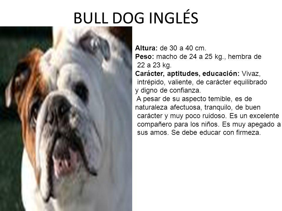 BULL DOG INGLÉS Altura: de 30 a 40 cm.Peso: macho de 24 a 25 kg., hembra de 22 a 23 kg.