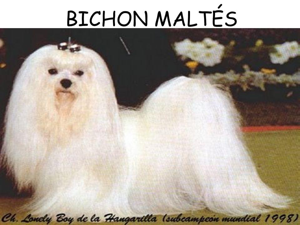 BICHON MALTÉS