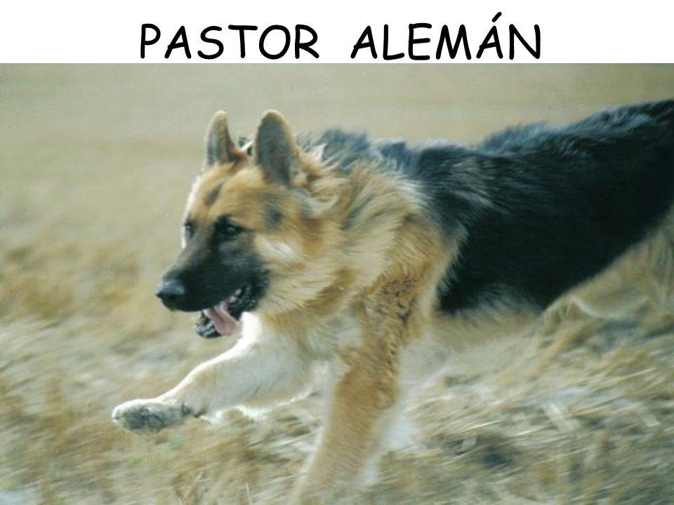 PASTOR ALEMÁN