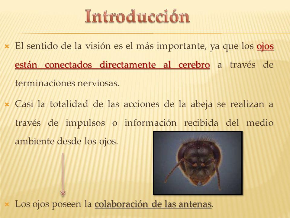 Las abejas poseen dos tipos de ojos: Tres ojos simples Dos compuestos Dos compuestos Ubicados sobre la frente A cada lado de lado de la cabeza