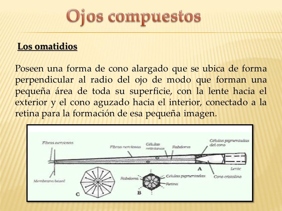 Los omatidios Poseen una forma de cono alargado que se ubica de forma perpendicular al radio del ojo de modo que forman una pequeña área de toda su su