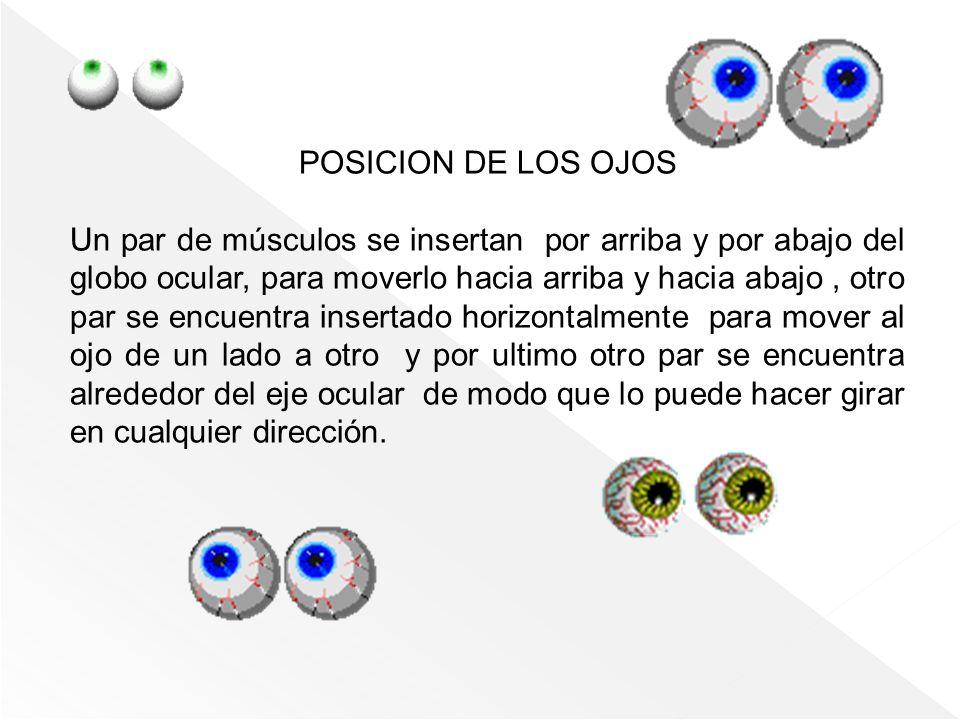 POSICION DE LOS OJOS Un par de músculos se insertan por arriba y por abajo del globo ocular, para moverlo hacia arriba y hacia abajo, otro par se encu