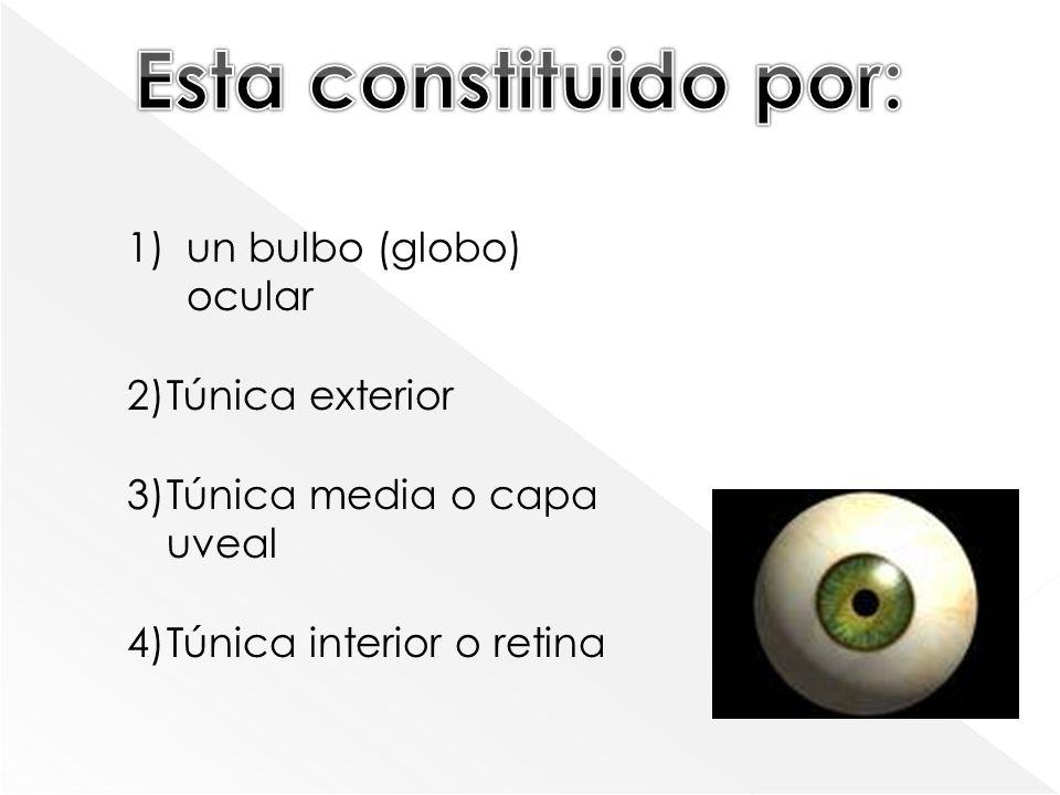 Túnica exterior o cornea : Es transparente y carece de vasos sanguinos, es color blanco, recibe el nombre de esclera (esclerótica ) Túnica media o capa uveal Esta formada por una membrana de color variable (el iris), tiene en el centro un orificio (la pupila), que al modificar su diámetro permite la entrada de los rayos luminoso La túnica interior o retina Es la única capa nerviosa en la cual están la células fotorreceptoras: los cono y los bastones.