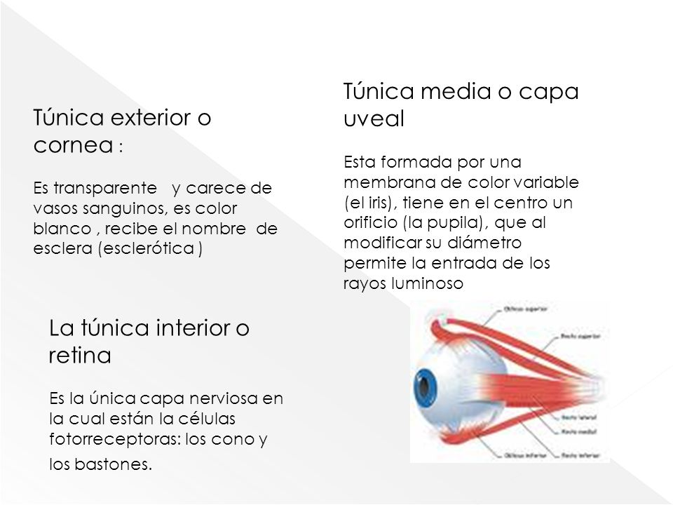 Túnica exterior o cornea : Es transparente y carece de vasos sanguinos, es color blanco, recibe el nombre de esclera (esclerótica ) Túnica media o cap
