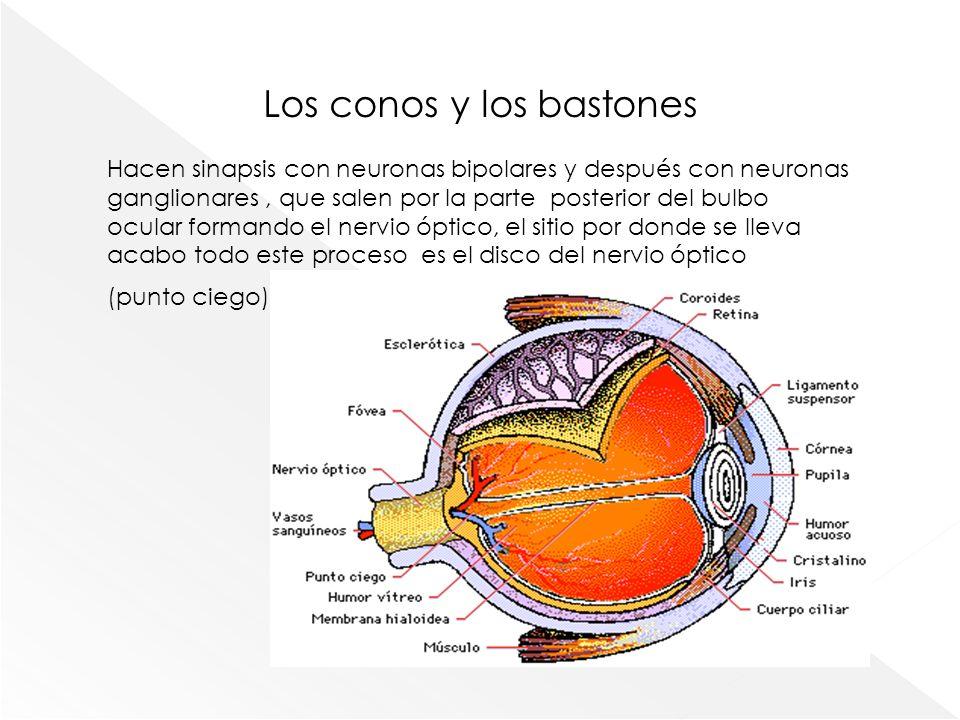 Los conos y los bastones Hacen sinapsis con neuronas bipolares y después con neuronas ganglionares, que salen por la parte posterior del bulbo ocular