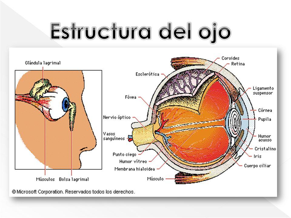 1)Parpados 2)Las cejas 3)Las pestañas 4)Las glándulas tarsarles (Glándulas sebáceas situadas en la superficie interna de los Párpados entre los tarsos y la Conjuntiva) Párpados Conjuntiva 5)Las glándulas lagrimales 6)y los músculos.
