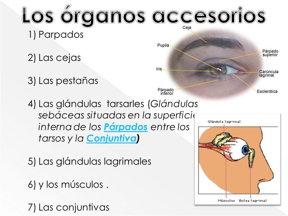 1)Parpados 2)Las cejas 3)Las pestañas 4)Las glándulas tarsarles (Glándulas sebáceas situadas en la superficie interna de los Párpados entre los tarsos