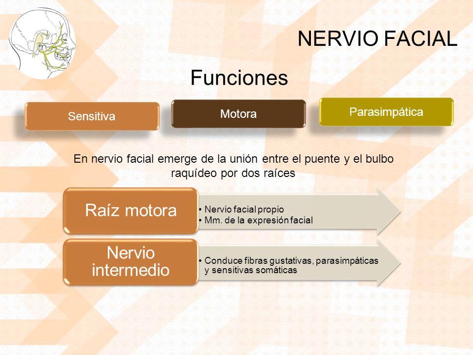 NERVIO FACIAL Sensitiva Motora Parasimpática Funciones En nervio facial emerge de la unión entre el puente y el bulbo raquídeo por dos raíces Nervio facial propio Mm.