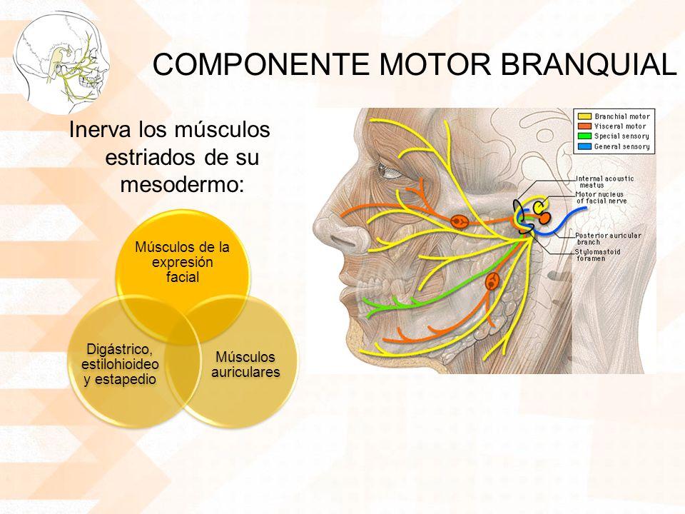 COMPONENTE MOTOR BRANQUIAL Inerva los músculos estriados de su mesodermo: Músculos de la expresión facial Músculos auriculares Digástrico, estilohioid
