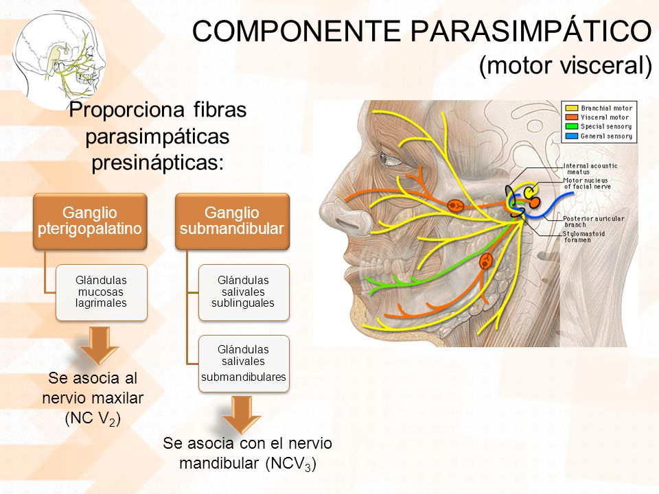 COMPONENTE PARASIMPÁTICO (motor visceral) Proporciona fibras parasimpáticas presinápticas: Ganglio pterigopalatino Glándulas mucosas lagrimales Gangli