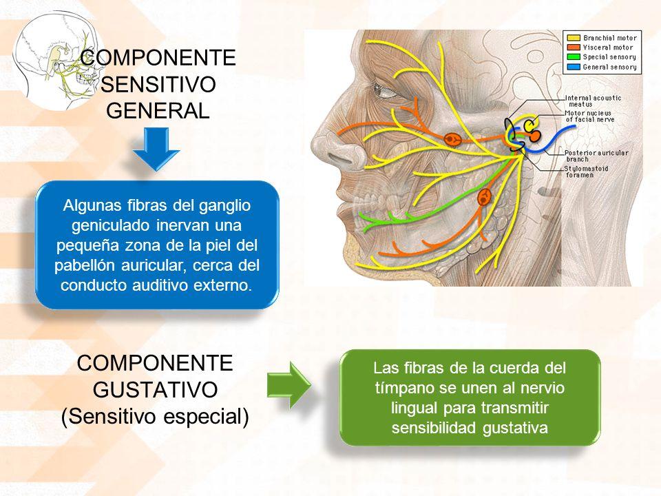 COMPONENTE SENSITIVO GENERAL Algunas fibras del ganglio geniculado inervan una pequeña zona de la piel del pabellón auricular, cerca del conducto auditivo externo.