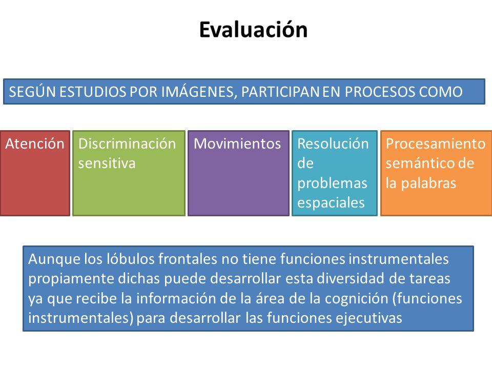 Evaluación SEGÚN ESTUDIOS POR IMÁGENES, PARTICIPAN EN PROCESOS COMO AtenciónDiscriminación sensitiva MovimientosResolución de problemas espaciales Pro