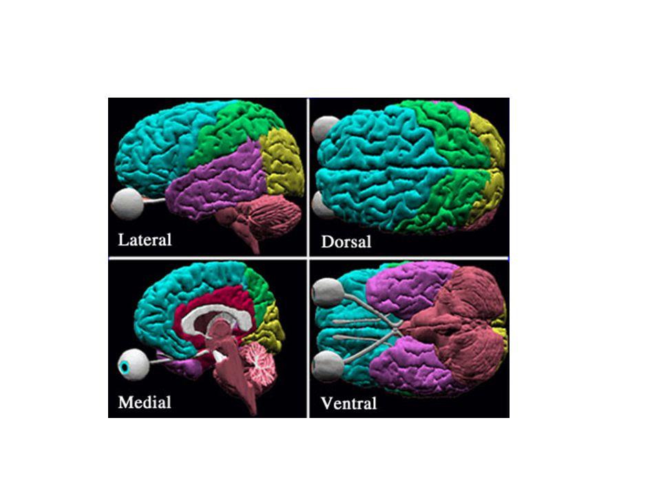 Síntomas de la lesión en lóbulo frontal Alteración de la funciones motoras Perdida del pensamiento divergente Deterioro de la inhibición de respuesta y conducta inflexible Escasa memoria temporal Deterioro de las imágenes de la conducta social y sexual Lesiones en lóbulo frontal derecho Lesiones en lóbulo frontal izquierdo Afecta el área emocional Afecta el lenguaje y Conductas motoras