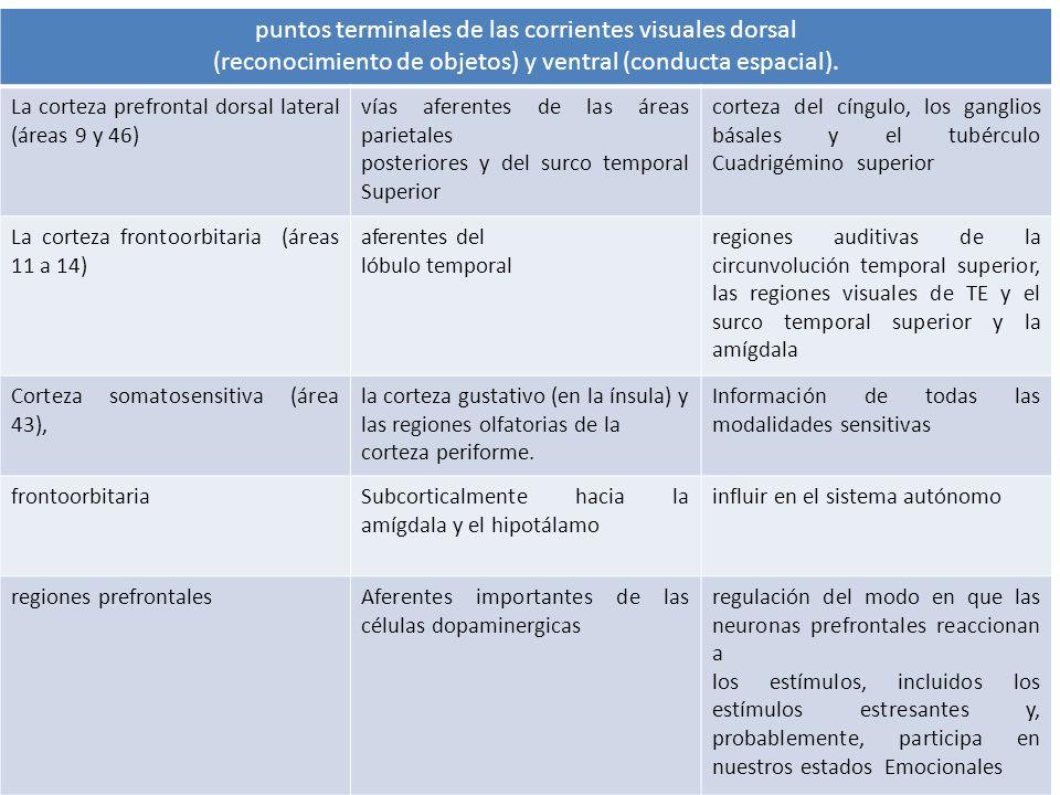puntos terminales de las corrientes visuales dorsal (reconocimiento de objetos) y ventral (conducta espacial). La corteza prefrontal dorsal lateral (á