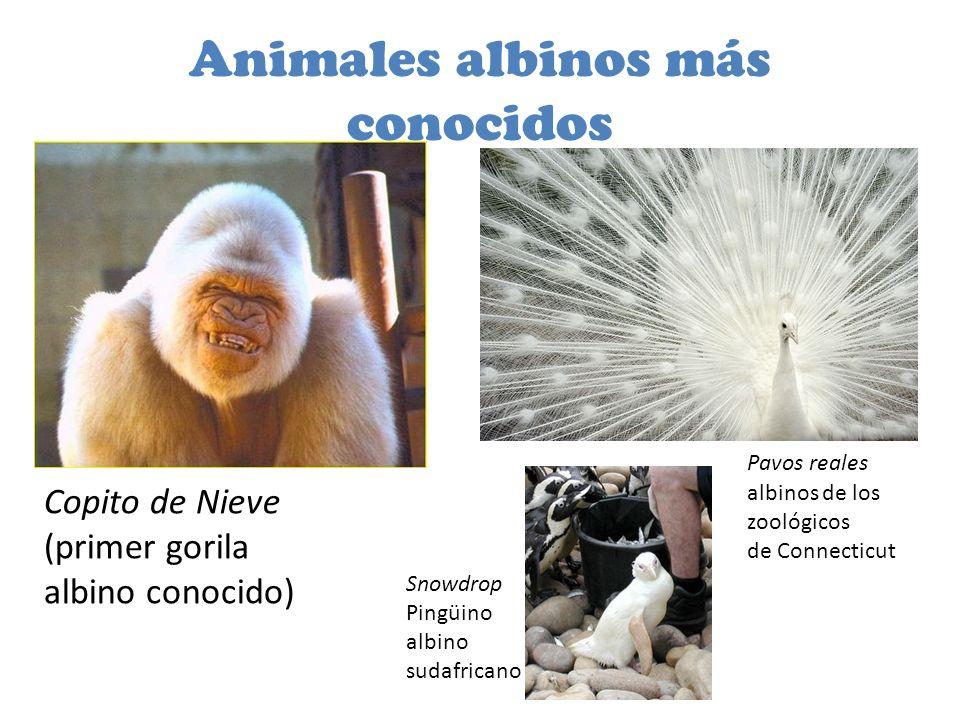 Animales albinos más conocidos Copito de Nieve (primer gorila albino conocido) Snowdrop Pingüino albino sudafricano Pavos reales albinos de los zoológicos de Connecticut