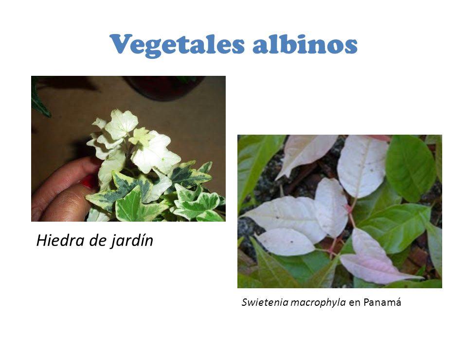 Vegetales albinos Hiedra de jardín Swietenia macrophyla en Panamá