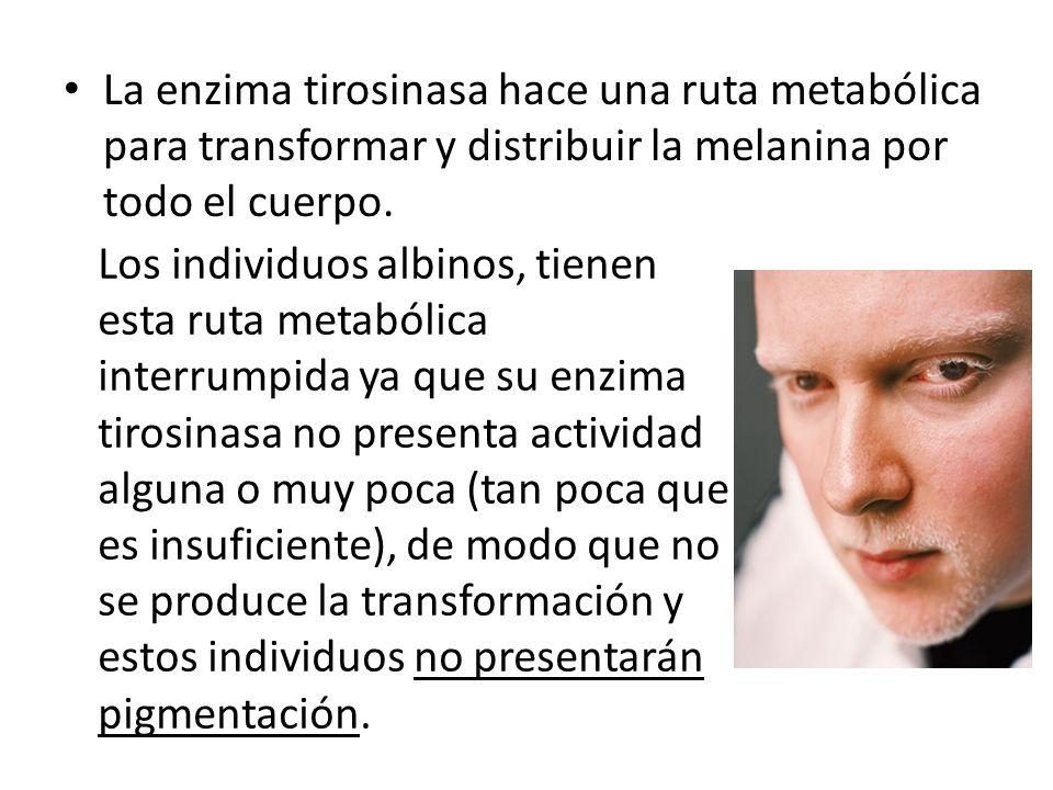 La enzima tirosinasa hace una ruta metabólica para transformar y distribuir la melanina por todo el cuerpo.