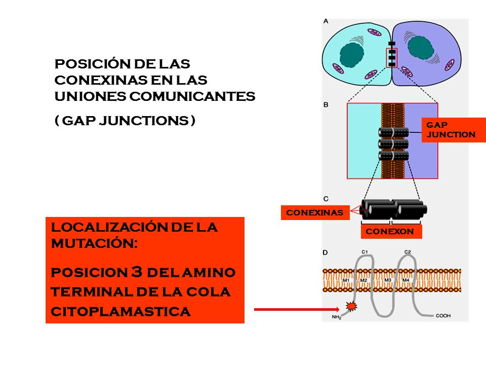 Molecular Vision 2006: 12:791 – 5 Htttp://www.molvis.org A novel mutation in the connexin 46 gene (GJA3) causes autosomal dominant zonular pulverulent cataract in a Hispanic family.
