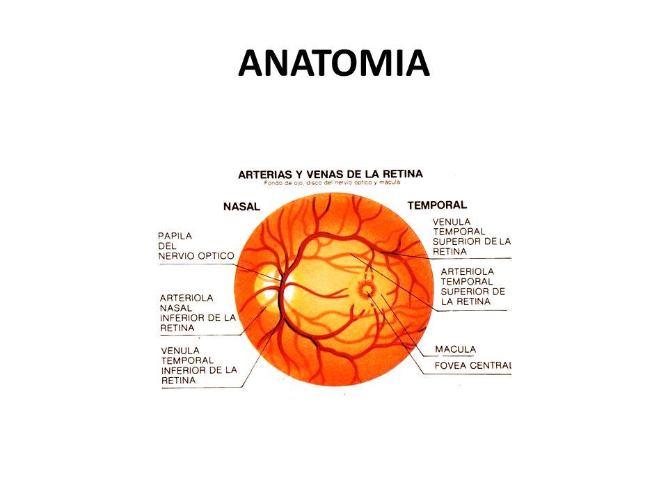 FISIOLOGIA El resto de la retina visión periférica y nocturna. Los bastones y conos fotorreceptores se sitúan en la capa mas externa avascular de la r