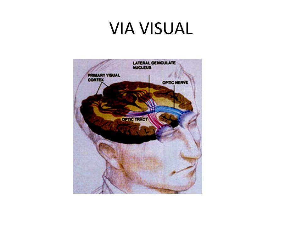 FISIOLOGIA Los bastones y conos de capa fotorreceptores, transforman estímulos luminosos en un impulso nervioso que es conducido por la capa de fibras nerviosas de la retina a través del nervio óptico y termina en corteza visual occipital.