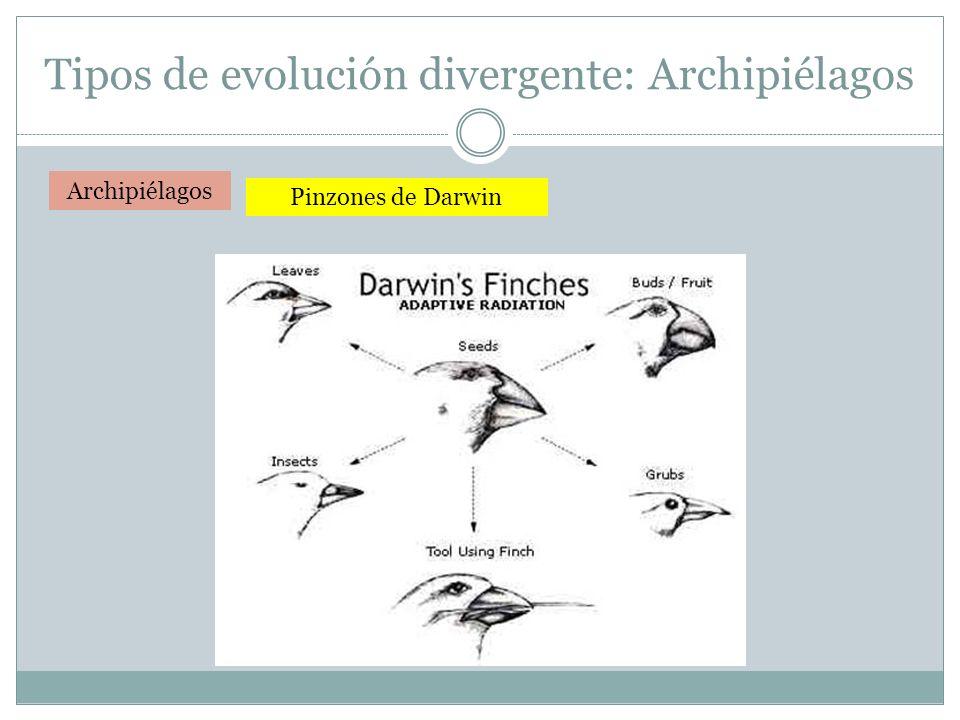 Archipiélagos Pinzones de Darwin Tipos de evolución divergente: Archipiélagos