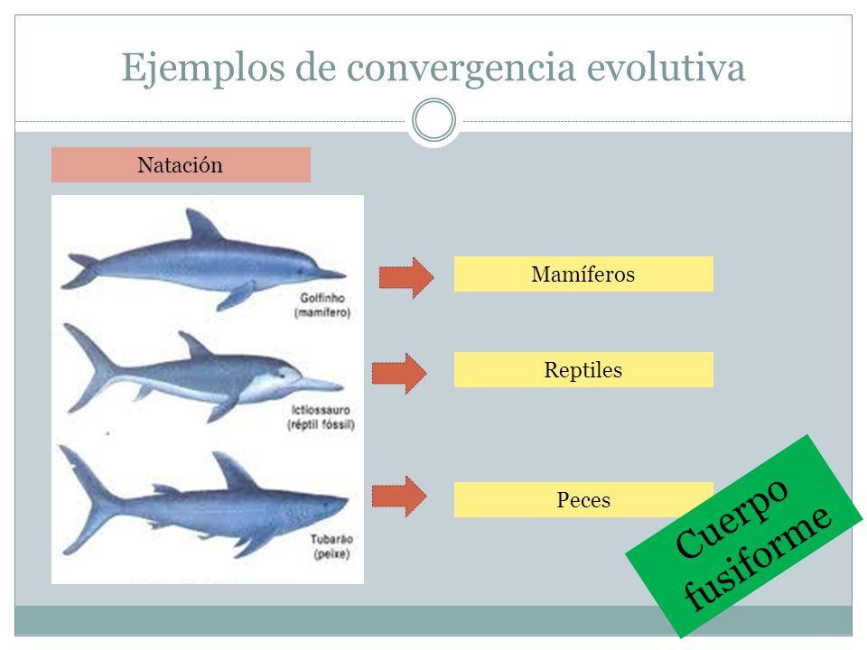 Evolución convergente, divergente y paralela Difícil de diferenciar