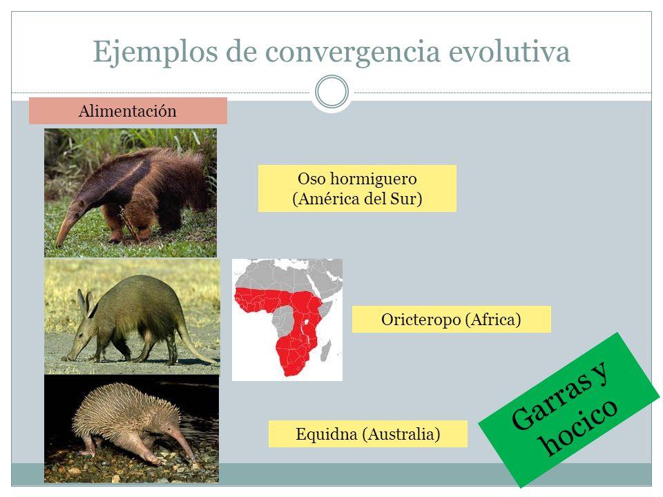 Ejemplos de convergencia evolutiva Oso hormiguero (América del Sur) Alimentación Equidna (Australia) Oricteropo (Africa) Garras y hocico
