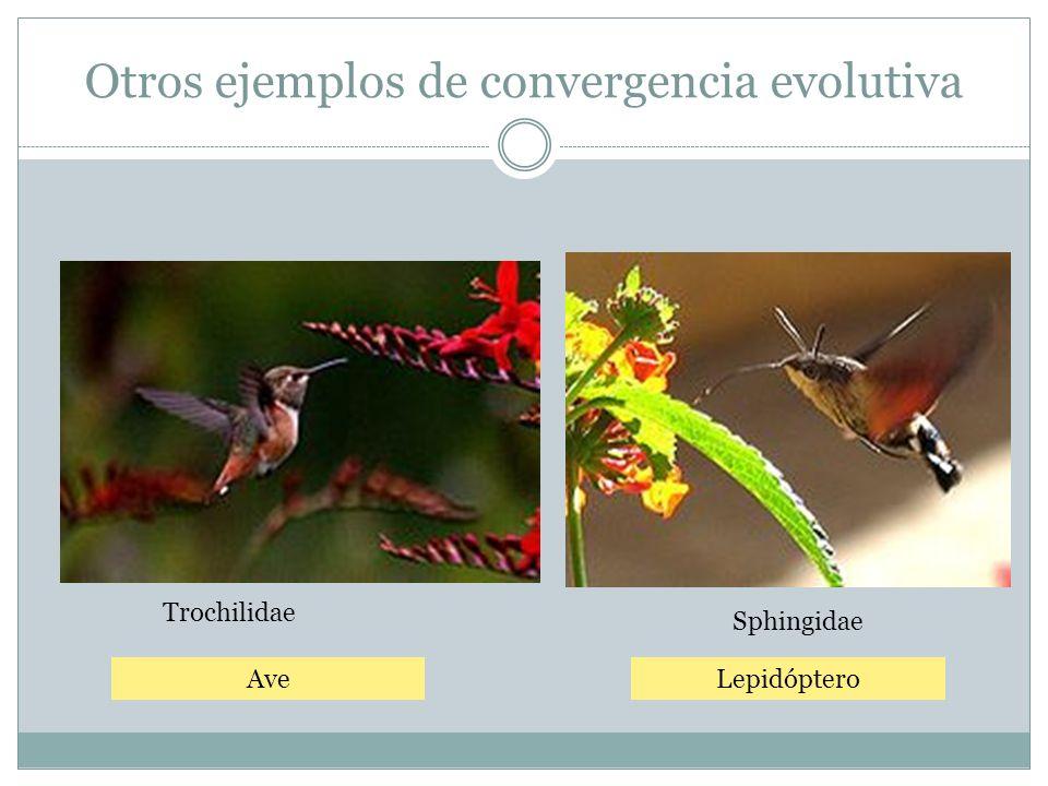 Otros ejemplos de convergencia evolutiva Trochilidae Sphingidae AveLepidóptero