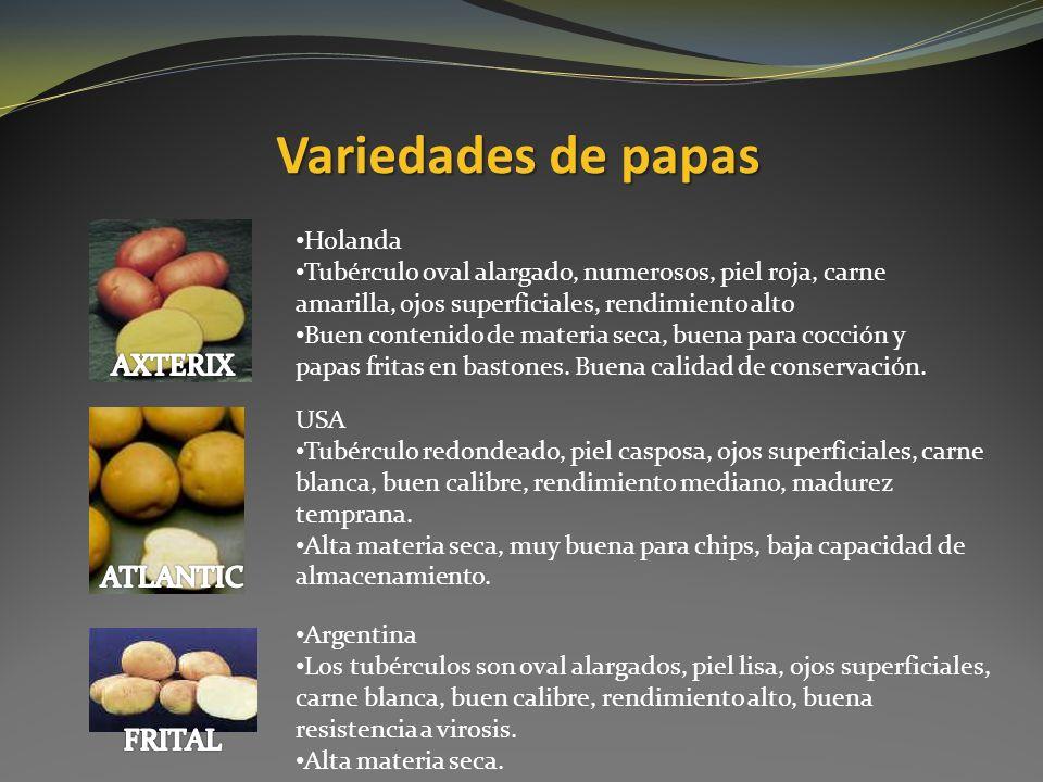 Variedades de papas Holanda Tubérculo oval alargado, numerosos, piel roja, carne amarilla, ojos superficiales, rendimiento alto Buen contenido de mate