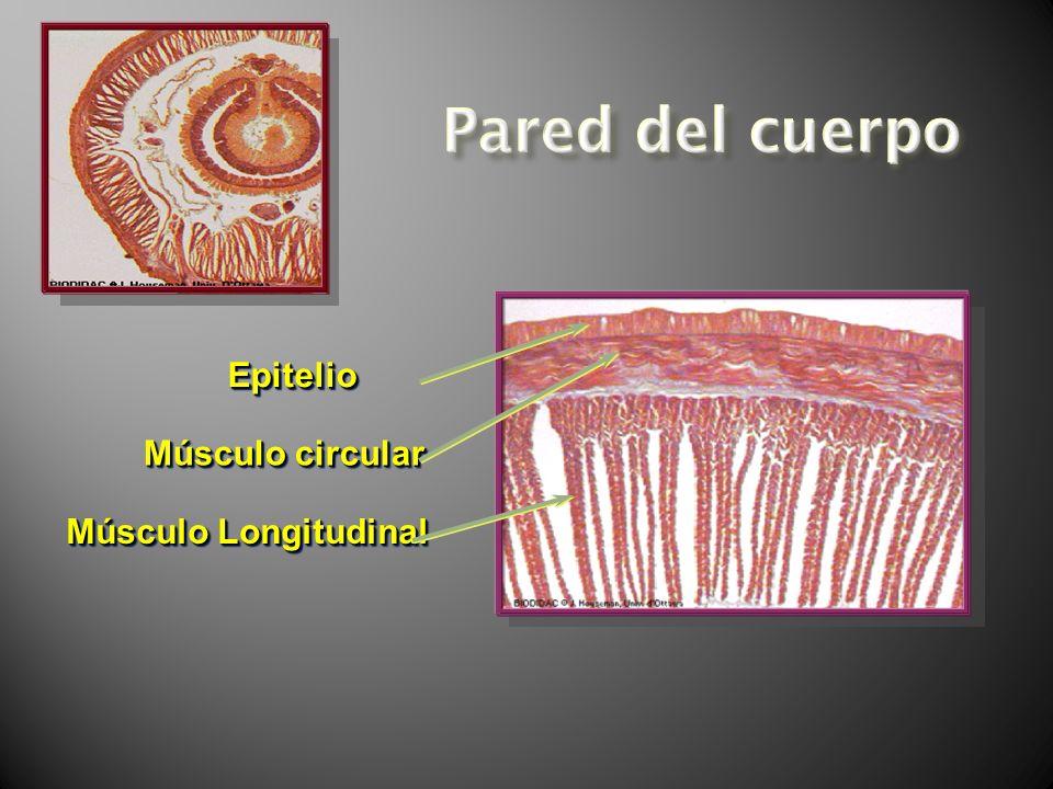 EpitelioEpitelio Músculo circular Músculo Longitudinal