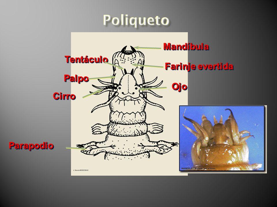 MandíbulaMandíbula Farinje evertida OjoOjo CirroCirro PalpoPalpo TentáculoTentáculo ParapodioParapodio