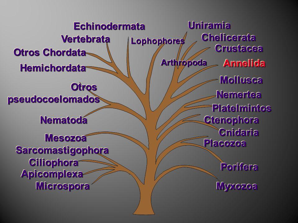 MyxozoaMyxozoa ArthropodaArthropoda AnnelidaAnnelida MolluscaMollusca LophophoresLophophores HemichordataHemichordata VertebrataVertebrata OtrospseudocoelomadosOtrospseudocoelomados NematodaNematoda PoriferaPorifera CtenophoraCtenophora CnidariaCnidaria PlacozoaPlacozoa PlatelmintosPlatelmintos NemerteaNemertea CiliophoraCiliophora SarcomastigophoraSarcomastigophora MicrosporaMicrospora ApicomplexaApicomplexa MesozoaMesozoa EchinodermataEchinodermata CrustaceaCrustacea ChelicerataChelicerata UniramiaUniramia Otros Chordata