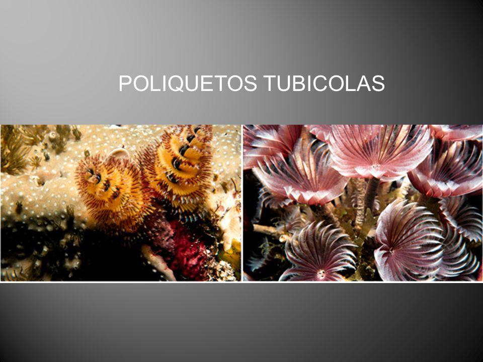 POLIQUETOS TUBICOLAS